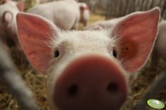 #świnia #świnka #zwierzęta #rolnictwo #rolnik