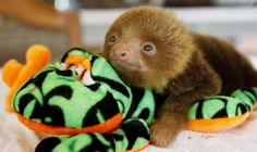 One baby sloth please