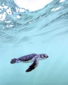 5 tips for a relaxed flight Best photos, images, and pictures gallery about baby sea turtle - sea turtle facts. Sea Turtle Facts, Cute Baby Turtles, Turtle Baby, Save The Sea Turtles, Turtle Love, Cute Animal Photos, Animal Pictures, Animal Wallpaper, Sea Turtle Wallpaper