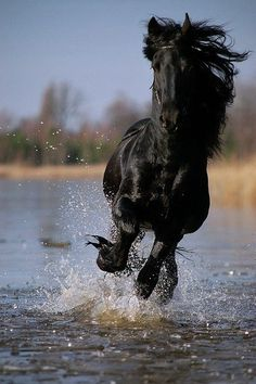 True Beauty Friesian running free. - from Fine Feathered Friesians