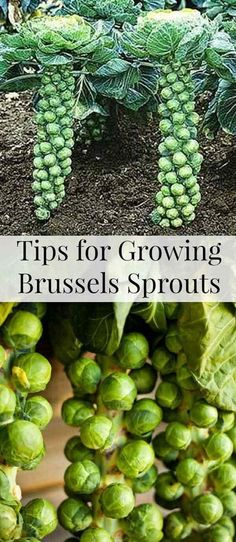24. Thanks to their vertically growing habit, brussels sprouts can be a suitable addition of a space-saving container garden. #largecontainergardeningideas