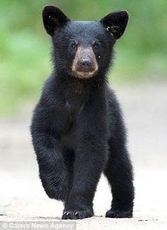 """A Curious Black Bear Cub!"" (Title Given By The Photographer: Tin Man on (yfw) Bear Cubs, Panda Bear, Polar Bear, Grizzly Bears, Tiger Cubs, Tiger Tiger, Bengal Tiger, Planeta Animal, Mon Zoo"