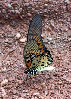 Giant African Swallowtail Scientific Name (Papilio antimachus) Describer Kingdom animalia Class...