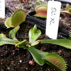DCXL  Time to start the new growing season with a BANG!  #gothictraps #vancouver #bc #canada #plants #carnivoroustagram #carnivorousplant #carnivorousplants #dionaea #muscipula #dionaeamuscipula #venus #flytrap #venusflytrap #vft #dcxl #narcityvancouver #vancouverofficial #vancitybuzz #iamvancouver #typicalvancouver #vancityfeed #vancityhype #wearevancouver #vancouver_canada #discovervancouver #veryvancouver #vancouverize #604now #myvancouverlife by gothictraps