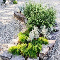 Acacia cognata 'Cousin Itt' + Maireana sedifolia + Pittosporum tenuifolium 'Wrinkled Blue'