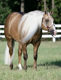 Wimpys Little Step -   1999 PALOMINO STALLION  OFFSPRING EARNINGS 2,582,911.00 as of 3/2011#Repin By:Pinterest++ for iPad#