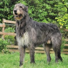 IRISH WOLFHOUND I want one!