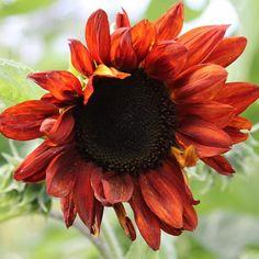Rote Sonnenblumen berraschend und eindrucksvoll  sonnenblumen sunflower sunflower sommerblumenhellip