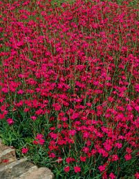 "Dianthus deltoides ""Brilliant"""