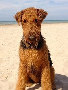 Wet Airedale! Even Wet And Sandy The Airedale Is Still Adorable!!