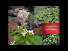 Medicinal Rice B4 Formulations for Diagonal Pains: Pankaj Oudhia's Medic...