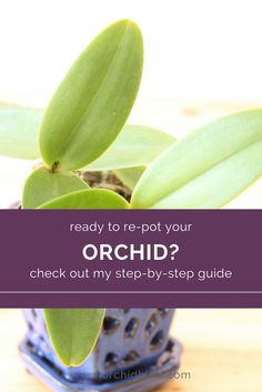 Orchids are not ordinary plants. This is especially true when it comes knowing how to repot orchids. This article will walk you through the whole process.