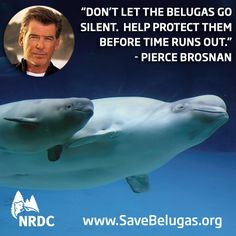 protect the belugas! Pet Recycling, Whale Facts, Pierce Brosnan, Nobel Peace Prize, Marine Biology, Sea World, Endangered Species, Sea Creatures, Conservation