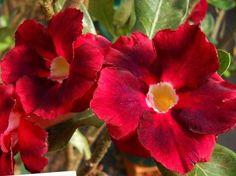 Rosa do Deserto Swan flor dupla Enxertada - Jardim Exótico - O maior portal de mudas do Brasil.