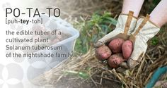 Tips for growing your own potatoes #gardening #edible #potager #potato
