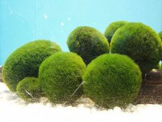 Marimo balls: care & info