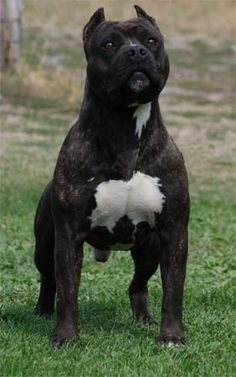 Mount Brier American Staffordshire Terriers