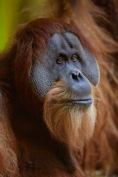 Orangutan by Michi B.