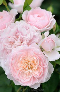 "Bildarchiv Rosa ""Wild Eve"" - Rose by Herzig - Fotografie"
