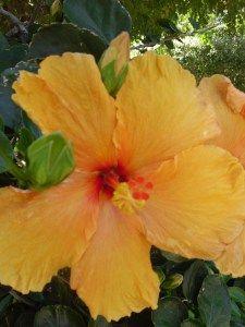 Golden yellow hibiscus flower
