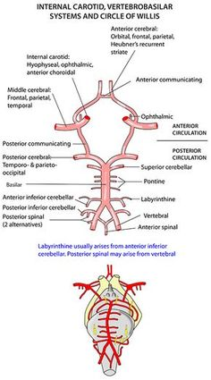 Instant Anatomy - Head and Neck - Vessels - Arteries - Circle of Willis Brain Anatomy, Human Anatomy And Physiology, Medical Anatomy, Body Anatomy, Cranial Anatomy, Arteries Anatomy, Circle Of Willis, Cerebral Circulation, Natural Remedies For Uti
