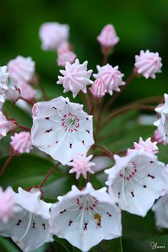 Dainty little Kalmia latifolia flowers (mountain-laurel, calico-bush or spoonwood)