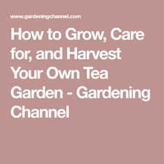 How to Grow, Care for, and Harvest Your Own Tea Garden - Gardening Channel