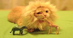 Pesquisa comprova que seu gato, de fato, é um pequeno leãozinho >> http://omascote.com.br/12/pesquisa-comprova-que-seu-gato-de-fato-e-um-pequeno-leaozinho/