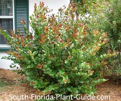 Garden Sheds South Florida gardening in south florida: south florida hedge plants v.i