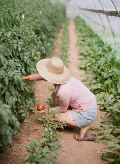 Happiness is picking tomatoes straight from the vine in the garden, flip flops on and sun hat too. This greenhouse full of tomato plants looks like a lovely place to visit.