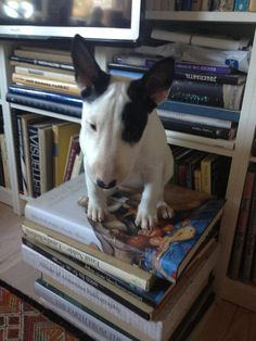 Our English Bull Terrier 10 weeks