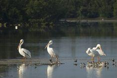 White Pelicans...