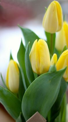 Yellow Tulips, Tulips Flowers, Daffodils, Pretty Flowers, Fresh Flowers, Flower Pots, Beautiful Flowers Pictures, Flower Pictures, Growing Flowers