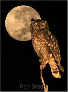 Owl and moon - Stock Photo