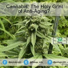 Cannabis: The Holy Grail of Anti-Aging?