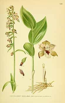 Bilder ur Nordens Flora, vol. 3 (1922-1926)131904 Epipactis helleborine  [as Helleborine latifolia (L.) Druce]  / Lindman, C.A.M., Bilder ur Nordens Flora, vol. 3: t. 648 (1922-1926)