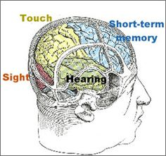 The cortex and its various lobes. Short-term memory activates regions in the frontal lobe (shown in blue).  The parietal lobe (yellow) holds tactile sensations and maps of the space around us; the occipital lobe (red) is a vision area. The temporal lobe (dark yellow) contains auditory areas and the hippocampus.