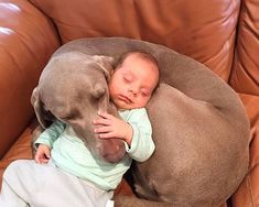 The Weimaraner is an energetic hunting dog, prized for its physical endurance and stamina, with a strong, instinctive prey-drive. But weimaraner is also a true human`s friend. Travel Humor, Funny Travel, Tie Shoelaces, Cute Cats And Dogs, Be A Nice Human, Weimaraner, Hunting Dogs, Dog Cat, Funny Pictures