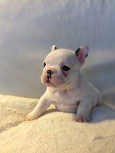 Ruth, the French Bulldog Puppy