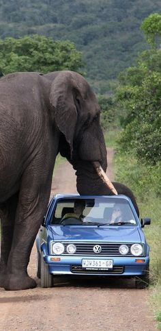 South Africa, Kruger National Park one trunk resting on his car trunk = American name for a car boot