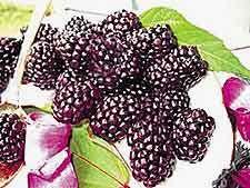 Winemaking Recipe for Mulberry Wine, How To Make Mulberry Wine: Wine Making Guides Homemade Alcohol, Homemade Wine, Wine And Liquor, Wine And Beer, Mulberry Wine, Mulberry Bush, Mulberry Recipes, Wine Yeast, Wine Magazine