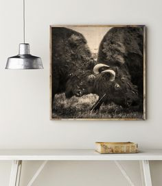 This Bison Battle Wildlife Photography is a black and white photograph of an epic fight over territory between two american buffalo in Wyoming. Shot on film, grainy yet detailed, this image has a lot
