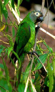 Dusky-Headed Parakeet or Dusky Conure by benji.schwartz
