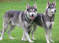 Czechoslovakian wolfdog: Closes Wolf Look alike