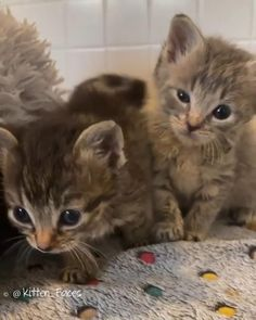 Kittens Cutest Baby, Cute Baby Cats, Kittens And Puppies, Cute Cats And Kittens, Cute Dogs, Funny Cute Cats, Cute Cat Gif, Cute Funny Animals, Video Chat