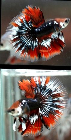 Live Betta Fish coral blue black white HMML <> FALCONS PRIDE <> 8615 <> IMPORT