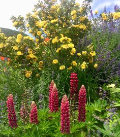Red and yellow color inspiration in my backyard — lupine and autumn copper rose. #garden #isacatto
