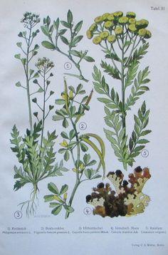 1937 Heilpflanzen: Knöterich Boxhornklee Hirtentäschel Isländische Moos - Druck Plants, Ebay, Medicinal Plants, Art Print, Watercolor, Plant, Planets