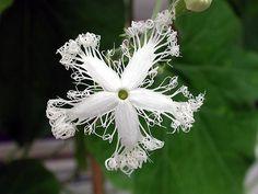Snake Gourd Flower:Trichosanthes Cucumerina var. Anguina