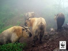 Herd of Takin caught by a camera trap in China by World Wildlife Fund  on Flickr